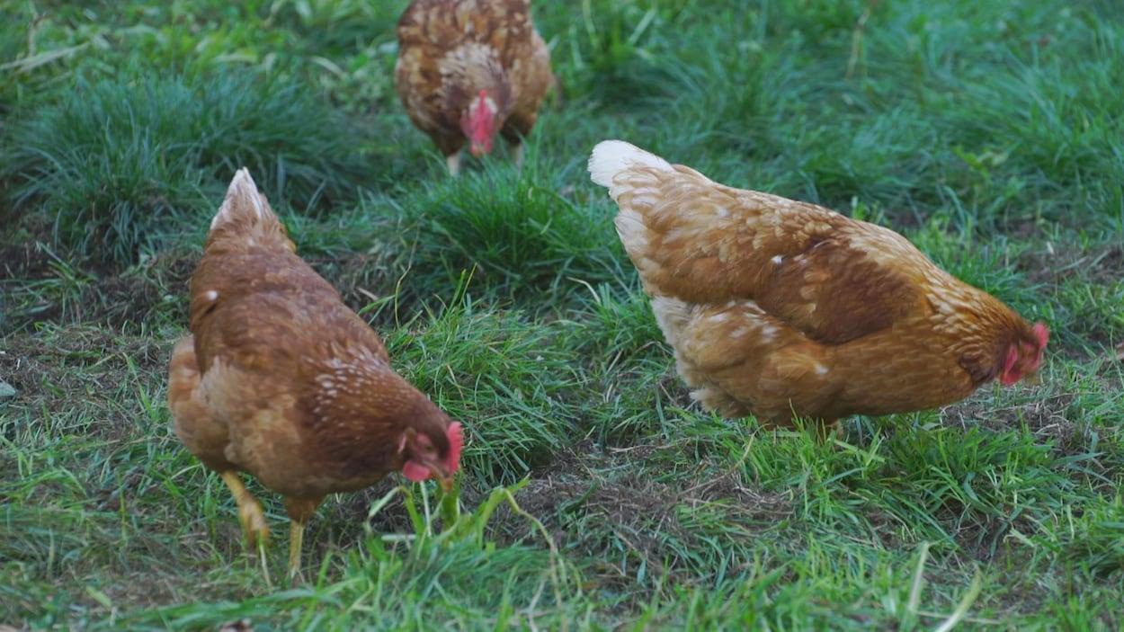 Trois poules brunes picorent dans un pré