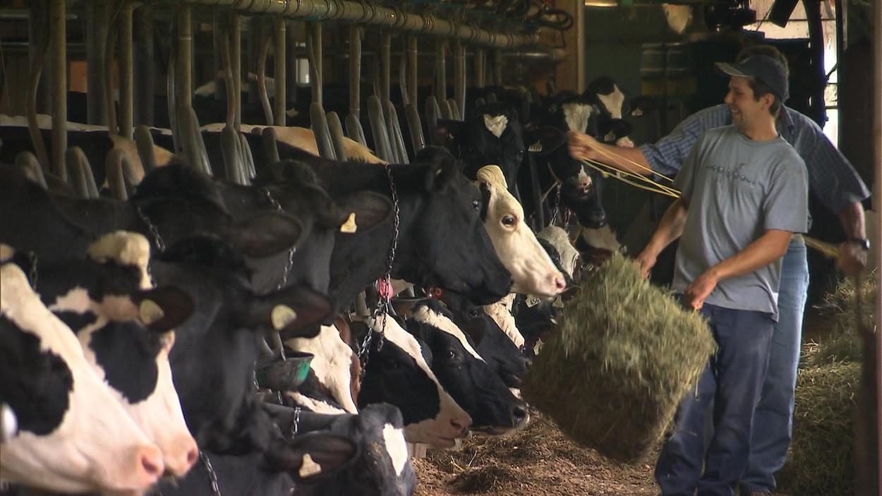 Deux personnes distribuent du foin à des vaches qui ont toutes la tête sortie de leur stalle.