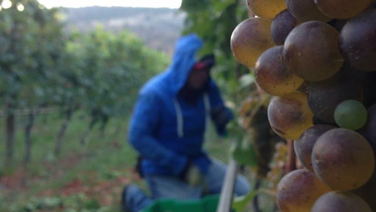 Une grappe de raisins sur une vigne avec un vendangeur en arrière-plan