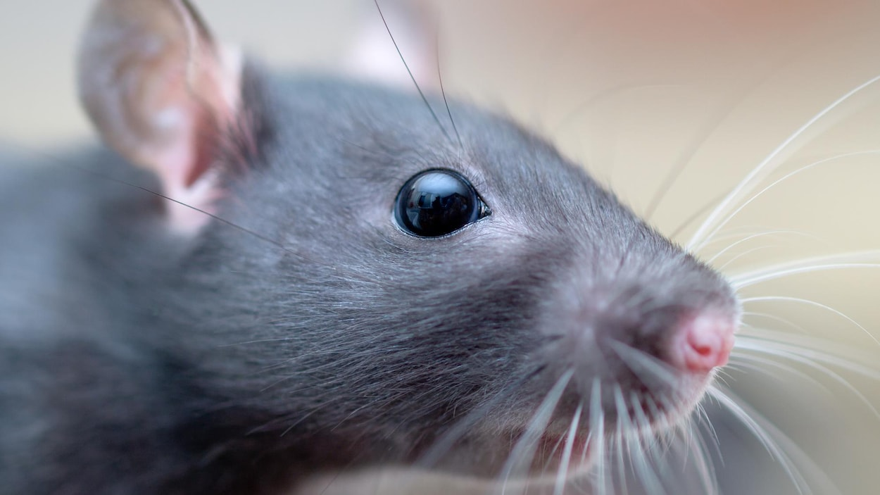 Gros plan sur la tête d'un jeune rat.