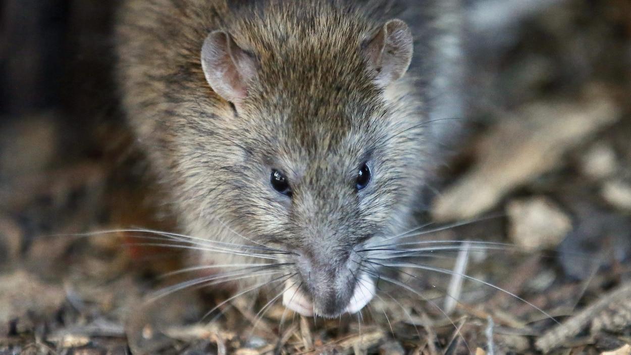 Gros plan d'un rat