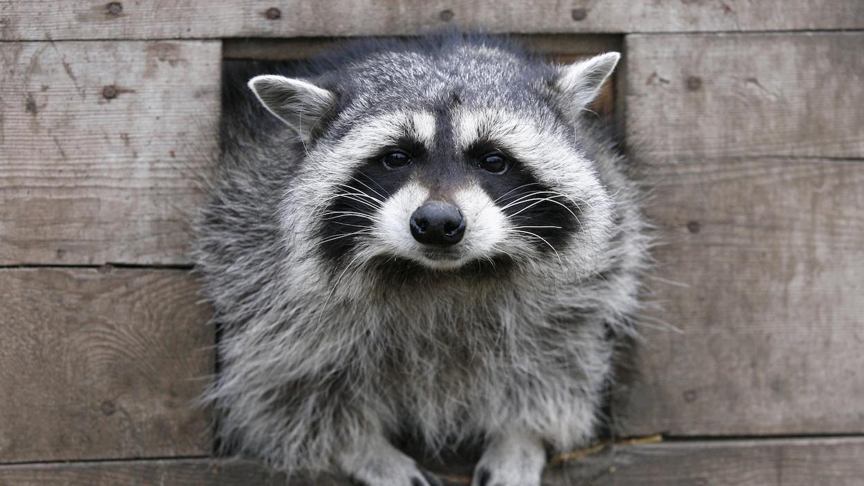 Un animal, qui a des oreilles pointues, des moustaches et des pattes qui peuvent ressembler à des mains d'humain, semble nous regarder droit dans les yeux. Il a la moitié du corps sorti à l'extérieur d'une cabane en bois et il est photographié de face.