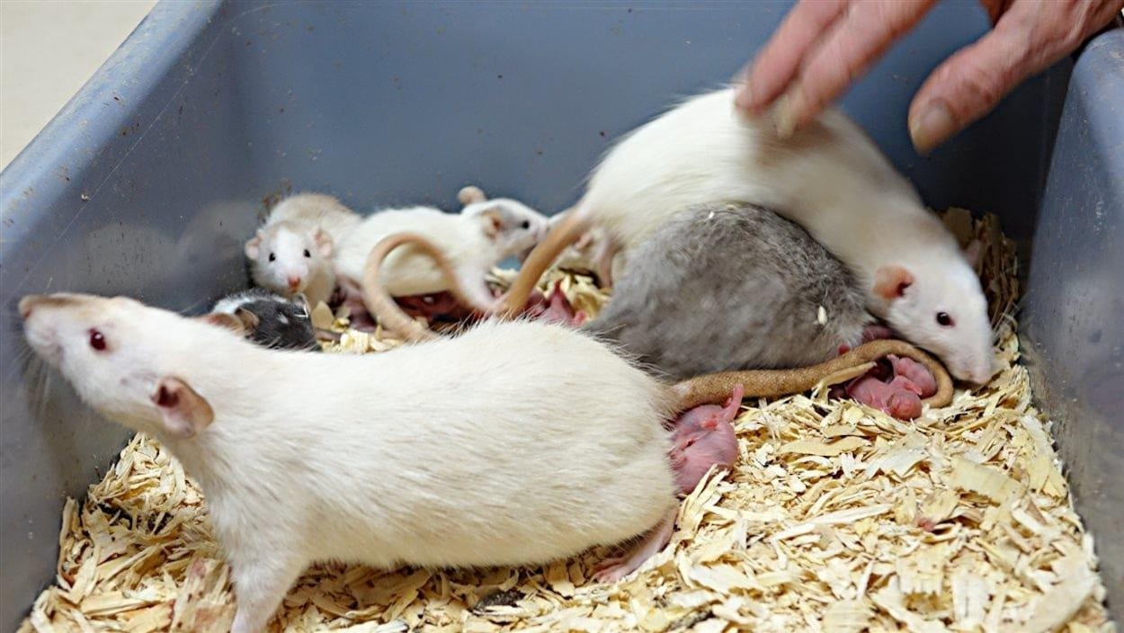 Plusieurs portées de rats peuvent vivre un certain temps dans la même cage.