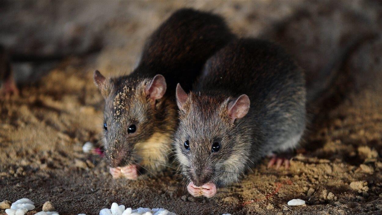 Deux rats grignotant de la nourriture.