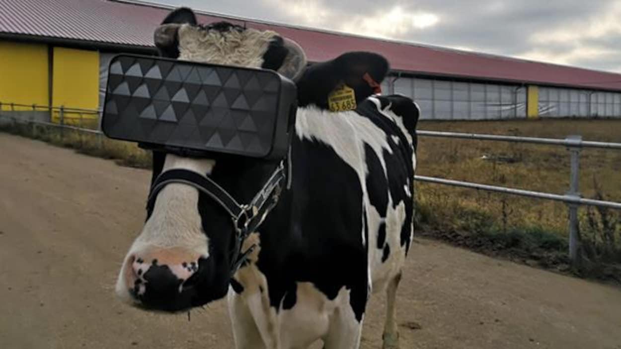Une vache munie d'un casque de réalité virtuelle.