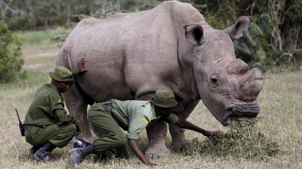 Un rhinocéros blanc mange des herbacés, sous l'oeil de deux gardiens habillés en vert.