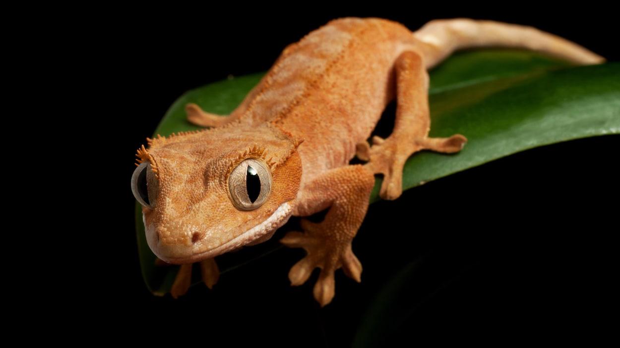 Gros plan sur un gecko à crête.