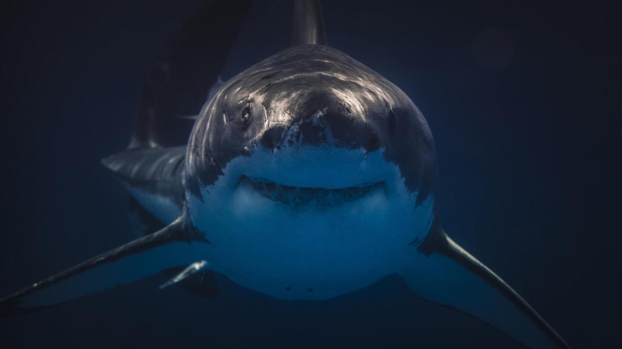 Un requin qui se dirige vers la caméra.