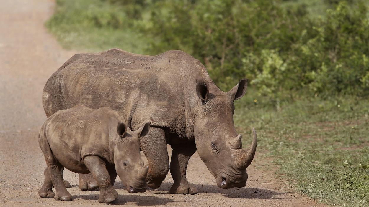 Q De Rhino Le braconnage des rhin...