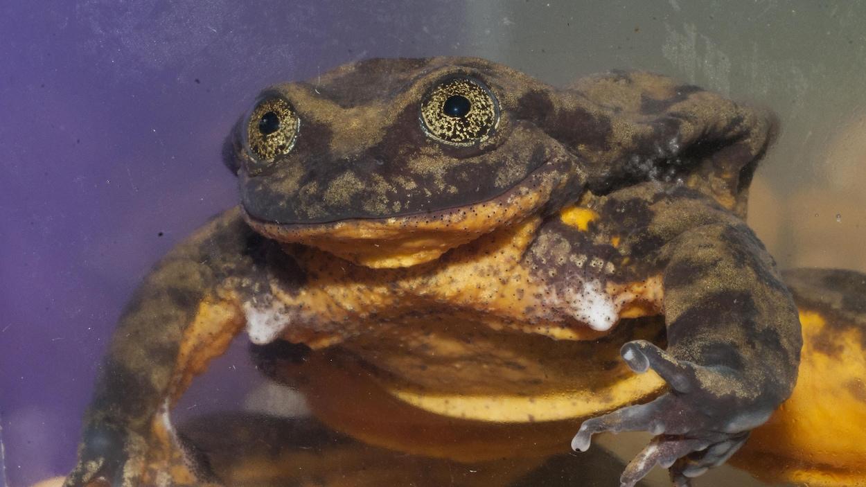 La grenouille Romeo.