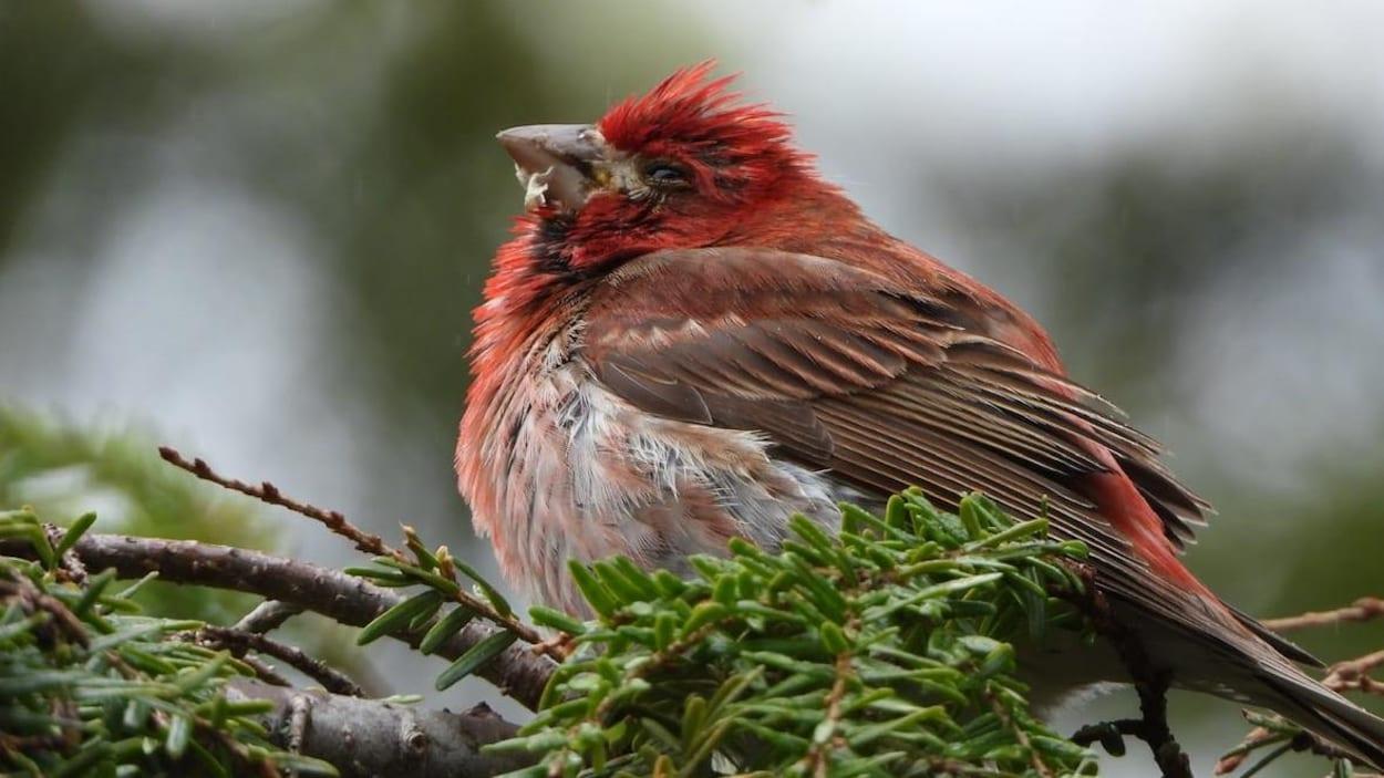 L'oiseau semble gonflé et malade. Il a de la nourriture régurgitée autour du bec.