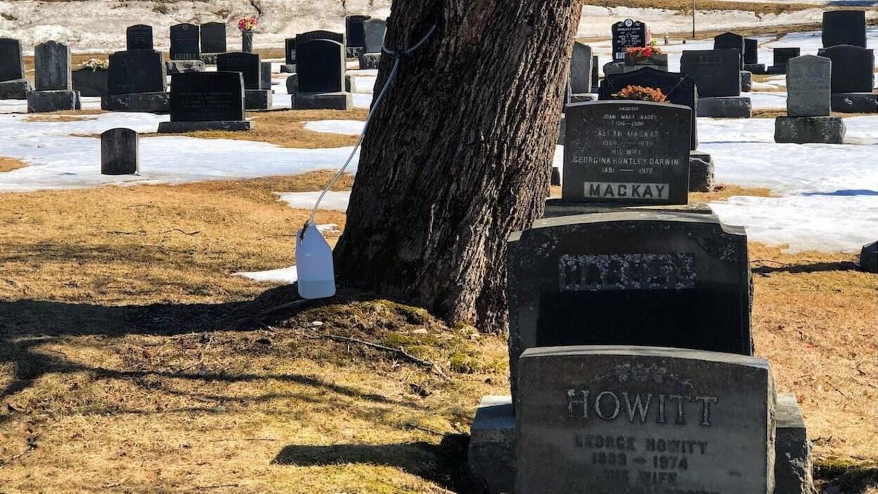 L'entaille d'un érable qui se dresse au milieu de pierres tombales.