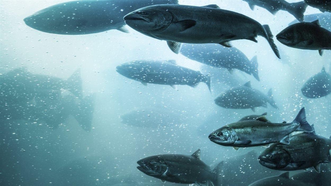 Le saumon de l'Atlantique.