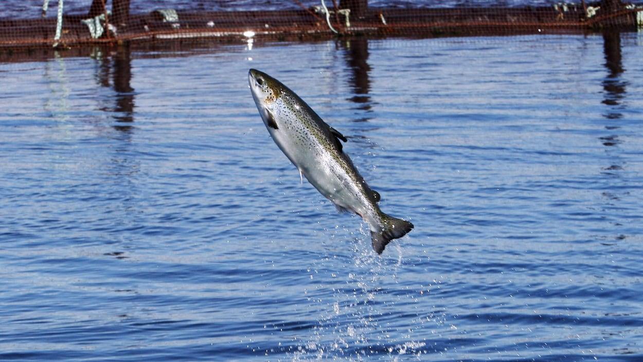 Un saumon de l'Atlantique qui saute hors de l'eau.