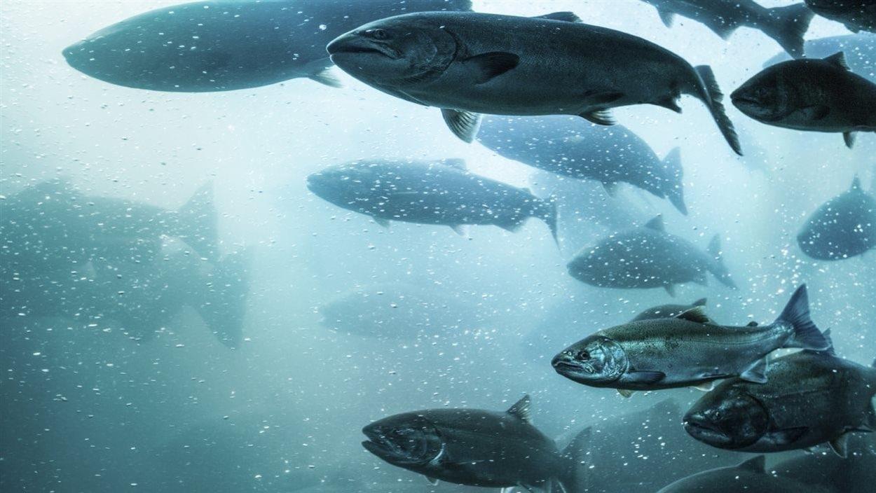 Le saumon de l'Atlantique