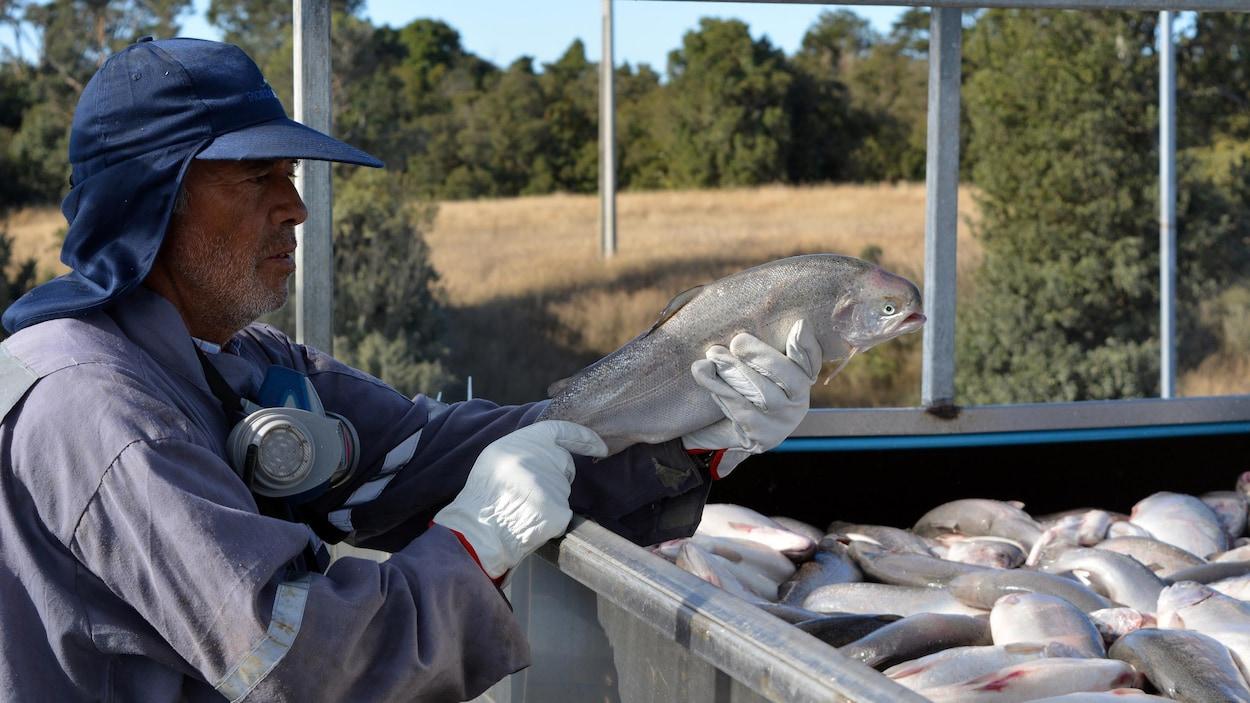 Un homme tient un saumon dans ces mains, au-dessus d'un bac rempli d'autres saumons pêchés, à Calbuco, au Chili.