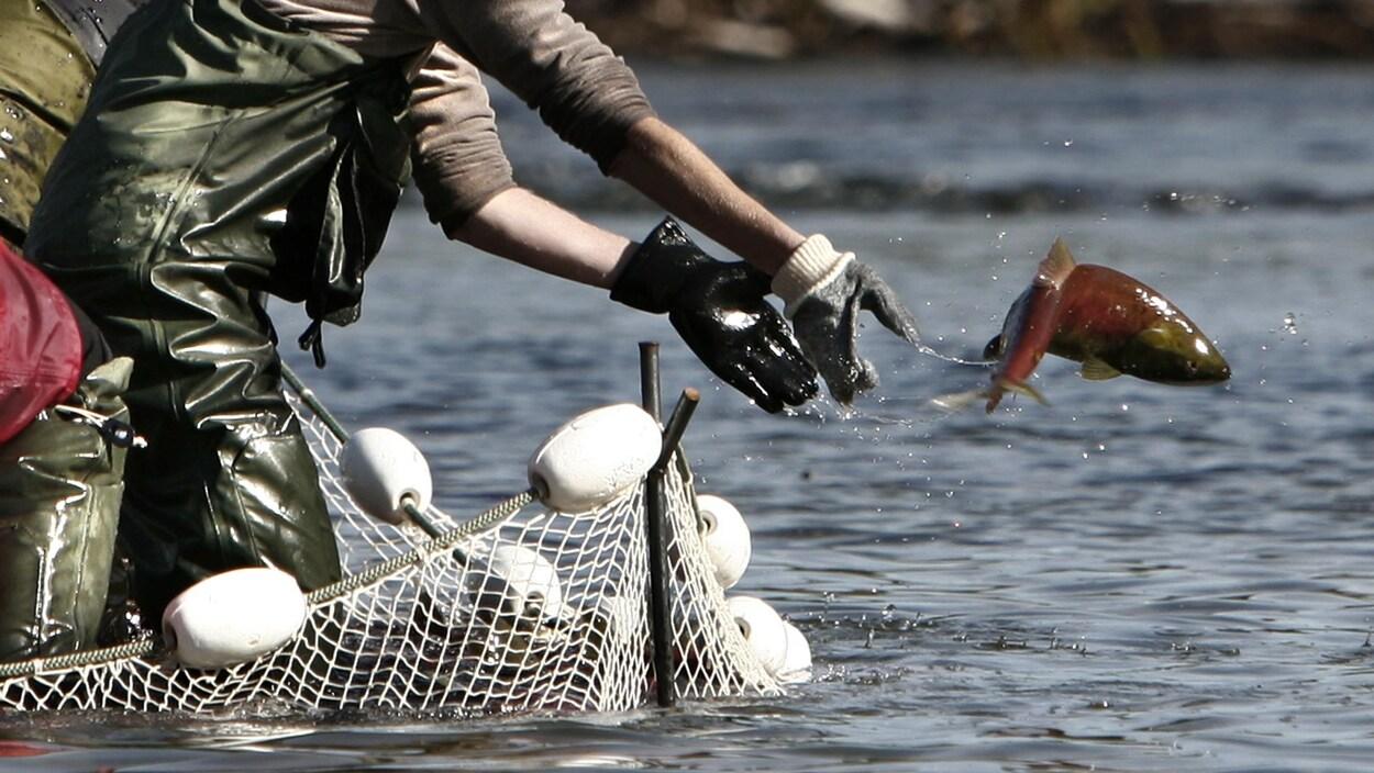 Un employé de Pêches et Océans relance à l'eau un saumon rose dans la rivière Adams, en Colombie-Britannique.