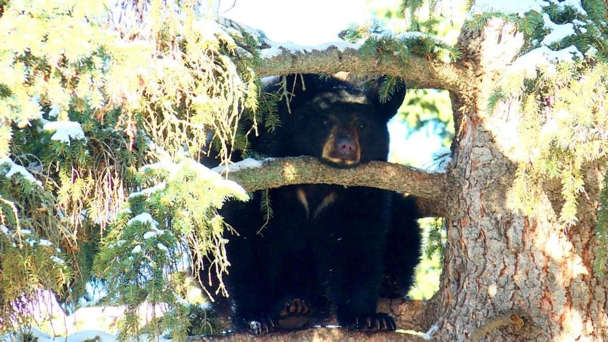 Un ours noir dans les branches d'un arbre pose son menton sur l'une d'entre elles.