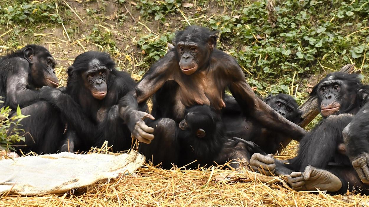 Un groupe de bonobos.