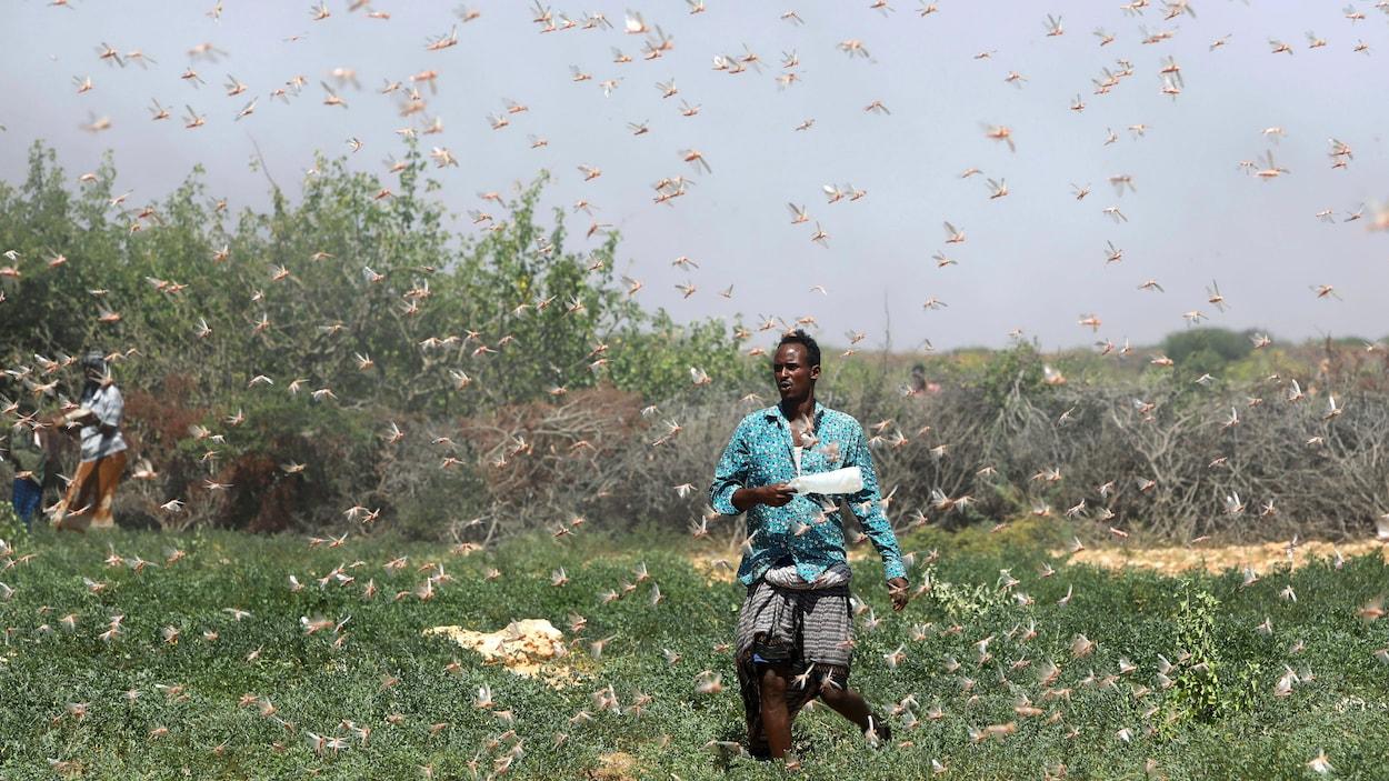 Un fermier somalien marche parmi des criquets pèlerins qui volent autour de lui et l'entourent.