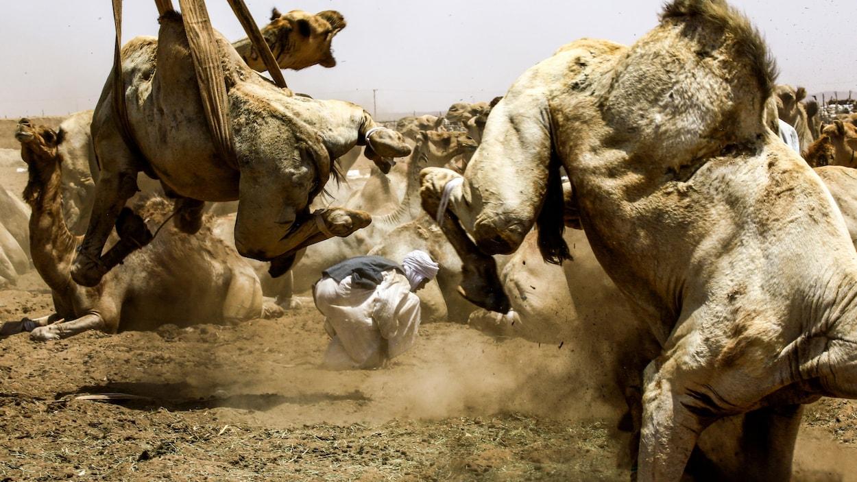 Un homme est accroupi au milieu de chameaux aux pieds attachés, prêts à être chargés.