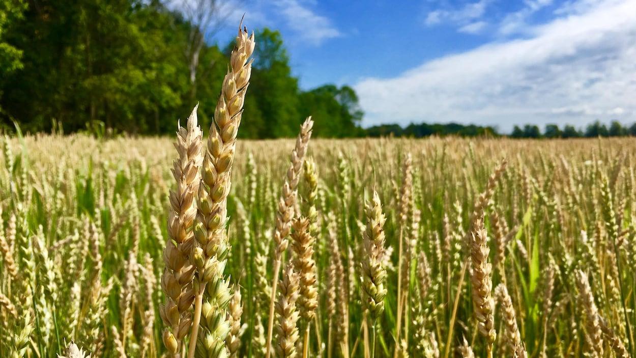 Du blé pousse dans un champ.
