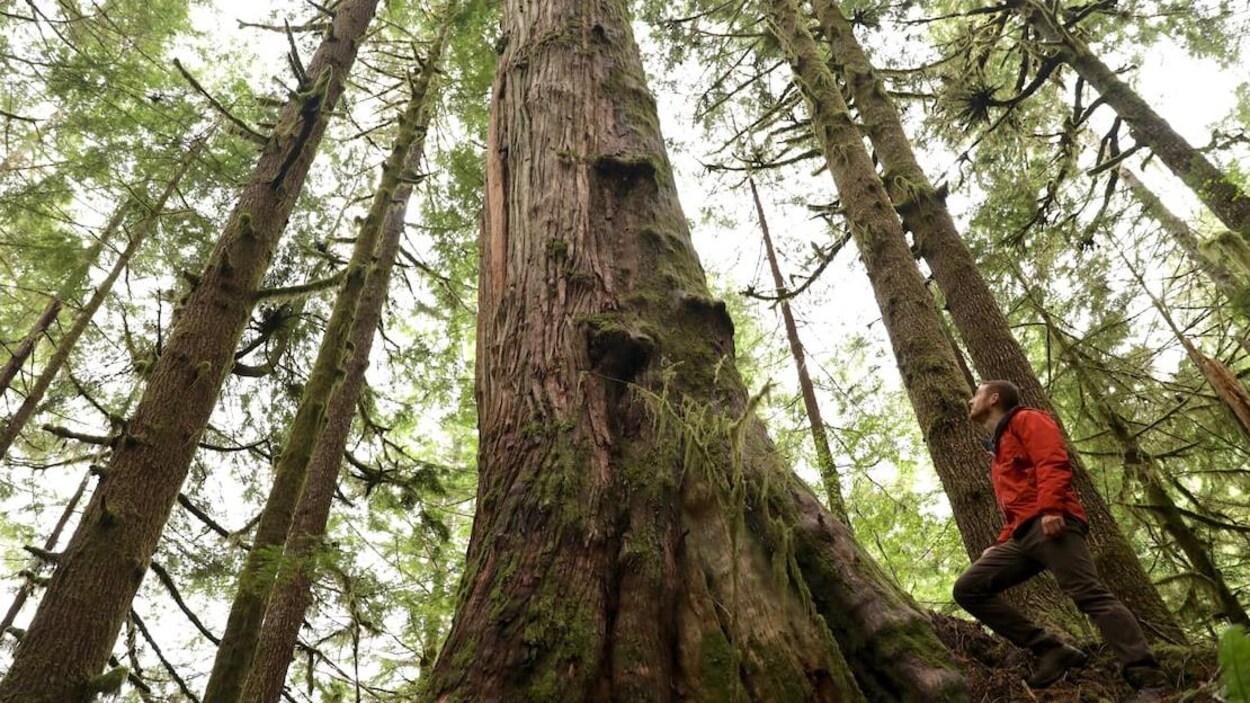 Un homme regarde vers la cimes d'arbres immenses dans une forêt.