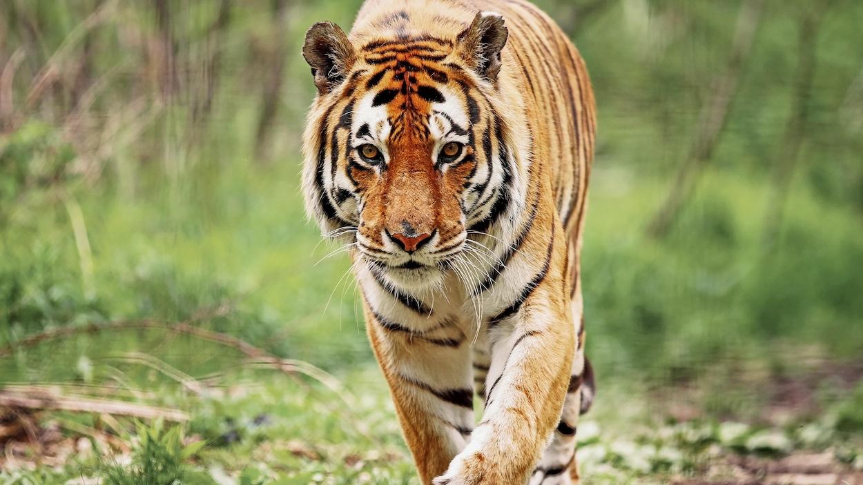 Un tigre marche droit vers la caméra.