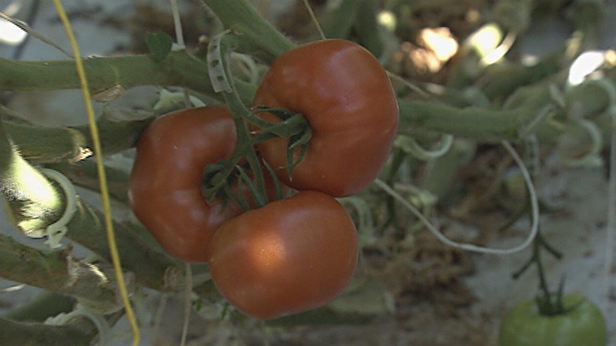 Des tomates rouges sur un plant