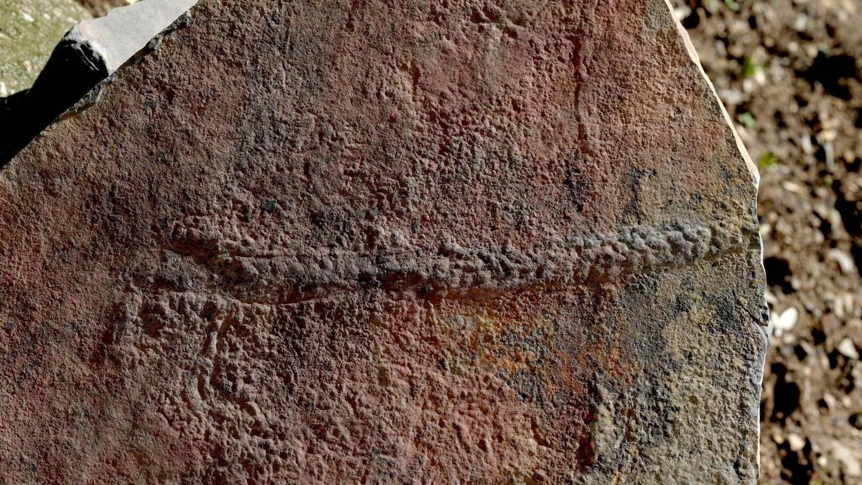 Le sentier laissé par un Yilingia spiciformis datant de 550 millions d'années