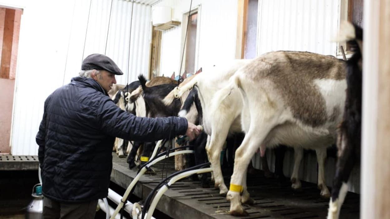 Le Québec compte 65 producteurs de lait de chèvre, principalement dans les régions du Centre-du-Québec, Montérégie, Bas-Saint-Laurent et Chaudière-Appalaches.