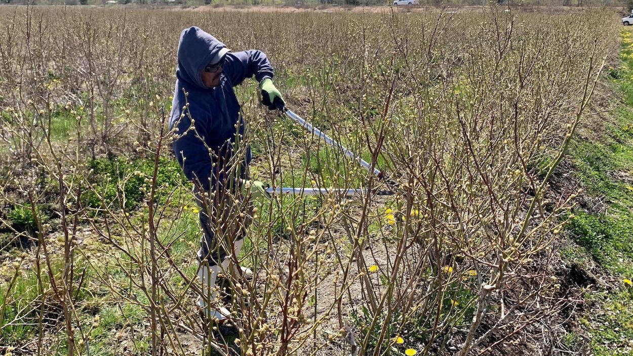 Un travailleur agricole taille les buissons de bleuets.