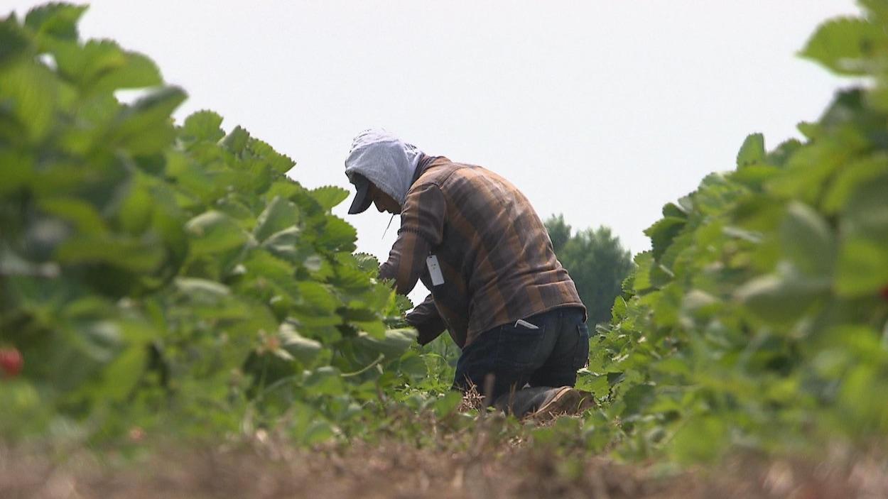 (Archives) Des travailleurs étrangers temporaires s'affairent à amasser des fruits dans un champs.