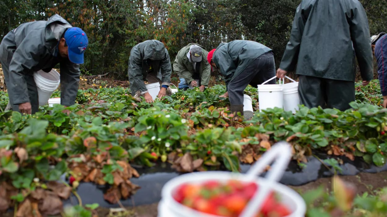 Six travailleurs agricoles cueillent des fraises dans un champ.