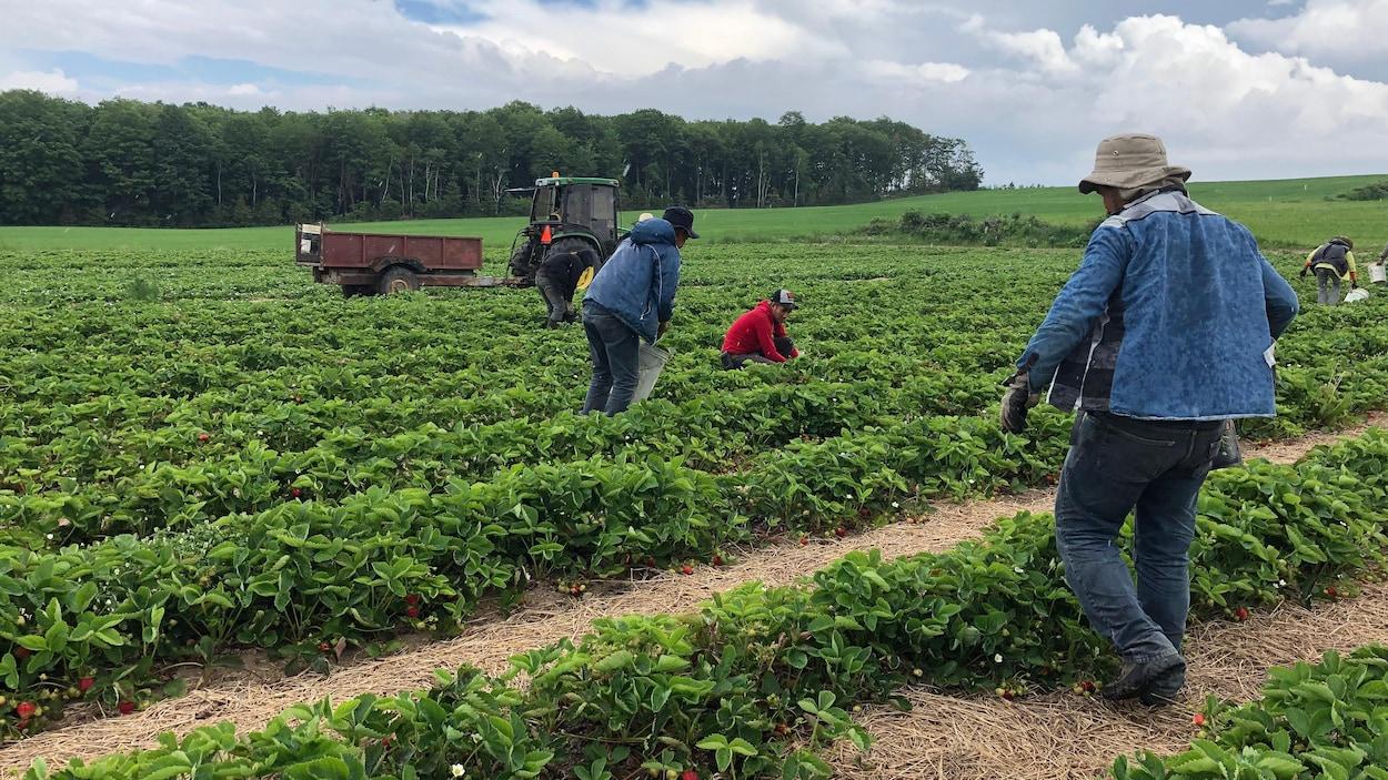 Des travailleurs retirent les mauvaises herbes d'un champ de fraises.