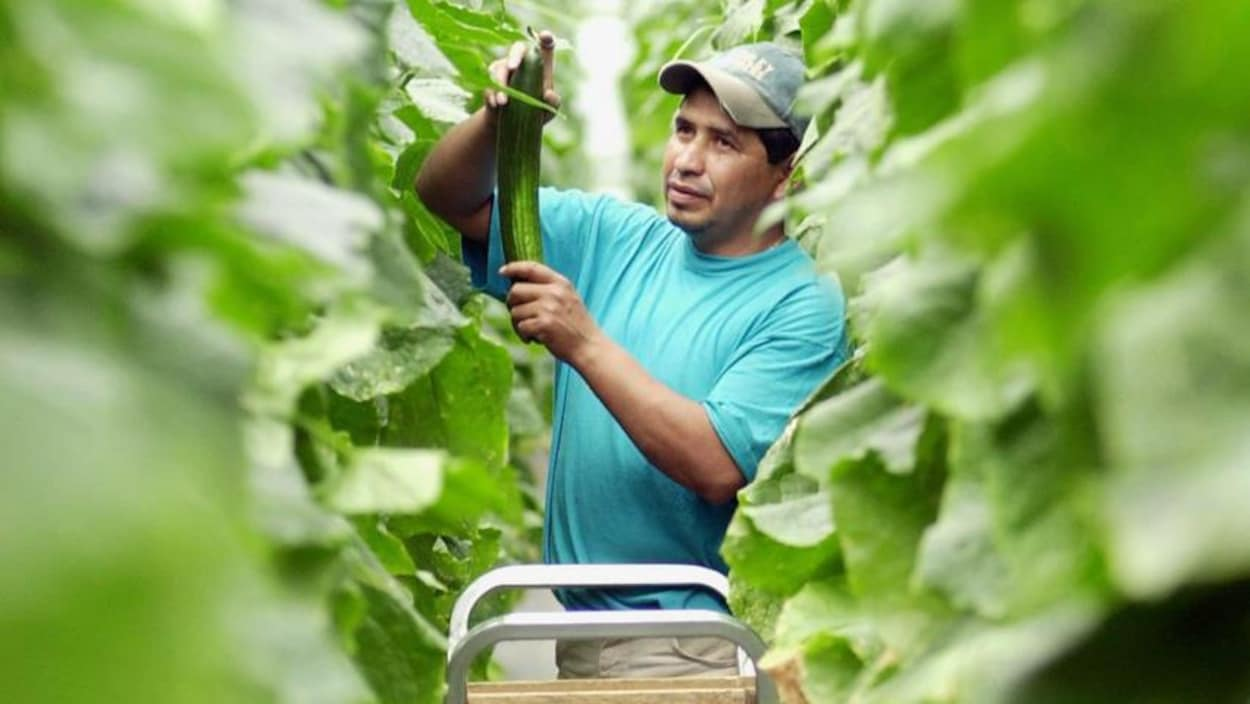 Un homme au milieu de plants de concombre