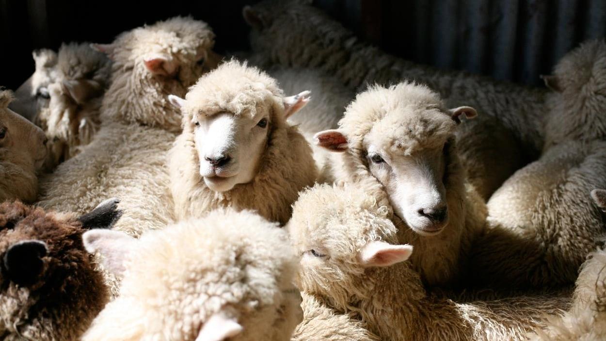 Un troupeau de moutons blancs.