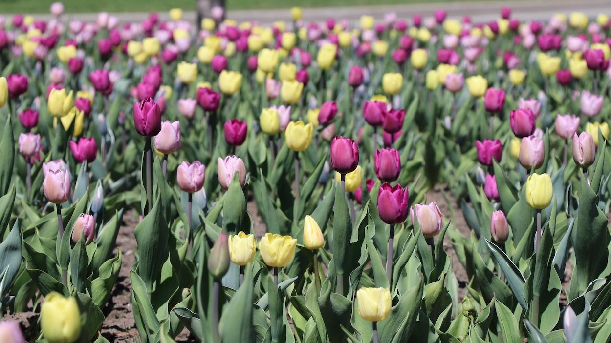 Un parterre de tulipes aux coloris mauve, rose et jaune clair.