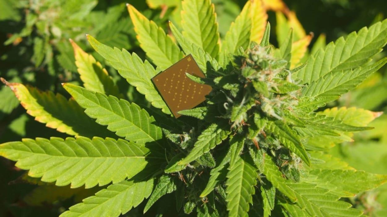 Un petit objet brun carré sur un plant de marijuana.