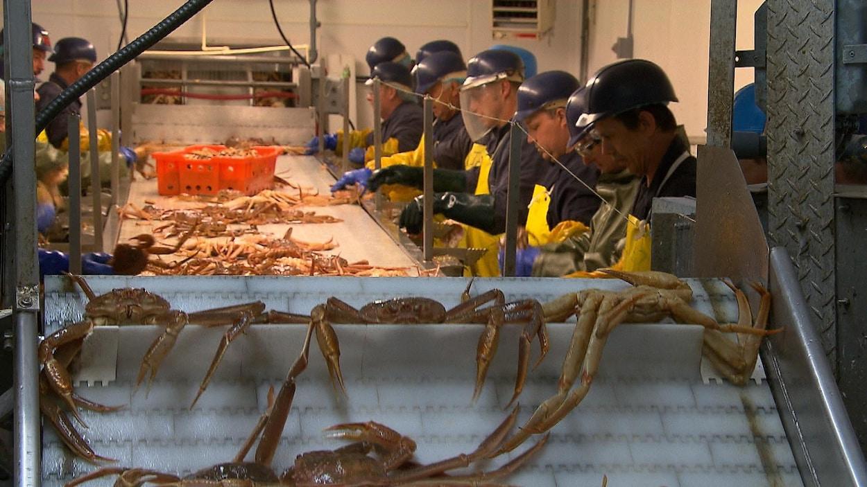 Travailleurs qui traitent du crabe des neiges dans une usine.