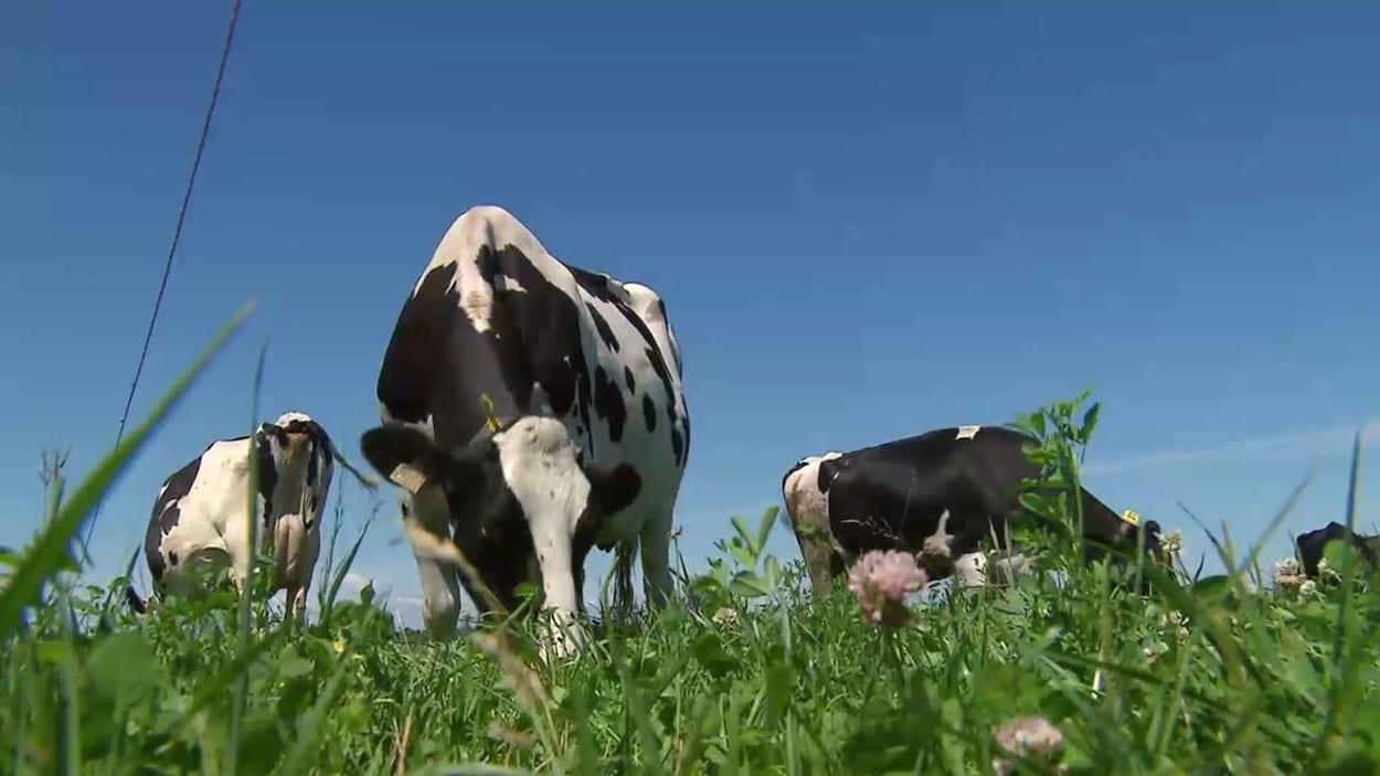 On voit en contre-plongée des vaches Holstein qui broutent l'herbe fraîche par une journée ensoleillée.