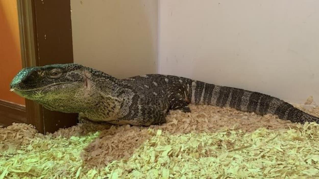 Le varan Godzilla est à plat ventre sur des copeaux de bois.