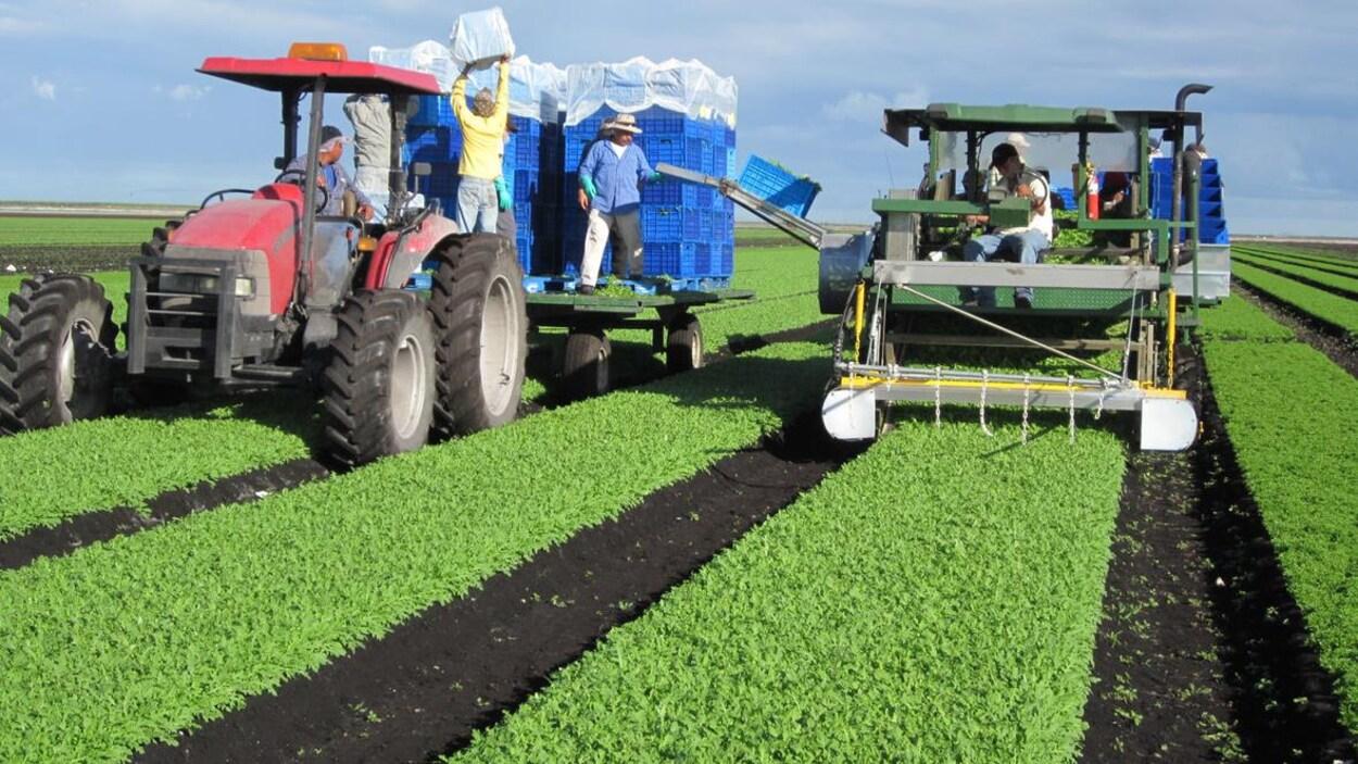 Un tracteur de l'entreprise Vegpro International dans un champ de laitue.  La compagnie investit $60 millions à Coldstream, en Colombie-Britannique pour y produire et transformer de la laitue verte.