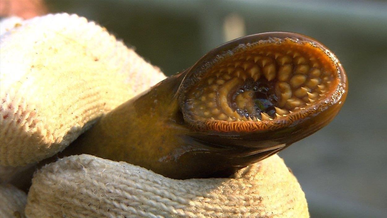 La lamproie marine a eu un effet dévastateur sur les pêcheries des Grands Lacs depuis son introduction au début du vingtième siècle.