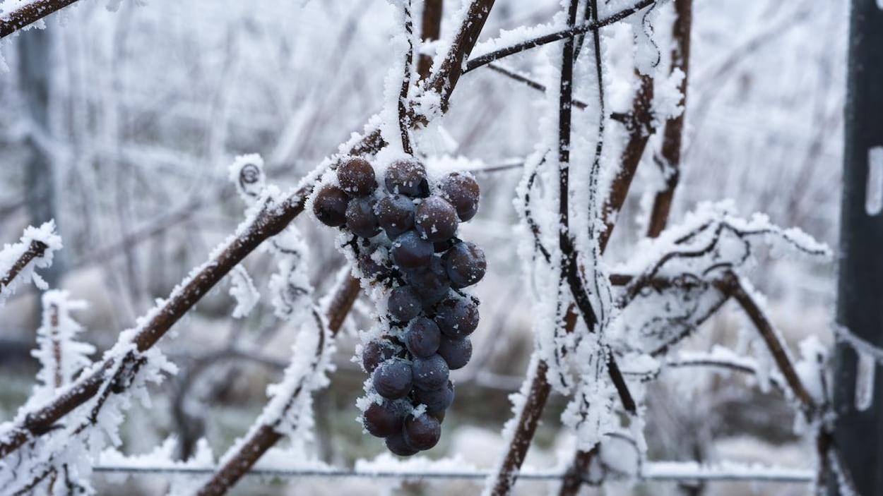 De la neige recouvre une grappe de raisins sur une vigne.