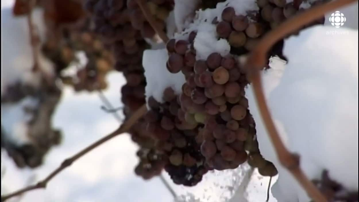 Une grappe de raisins gelée est recouverte de neige.
