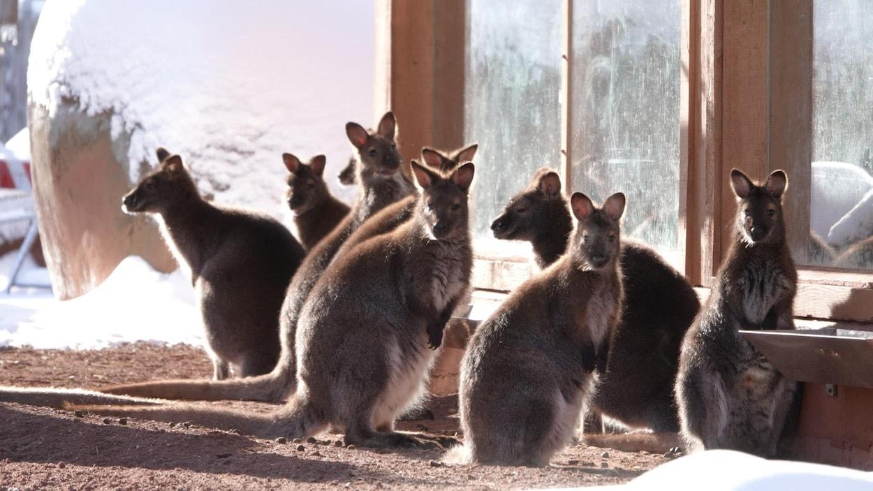 Un groupe de Wallaby de Bennett au Zoo de Granby.