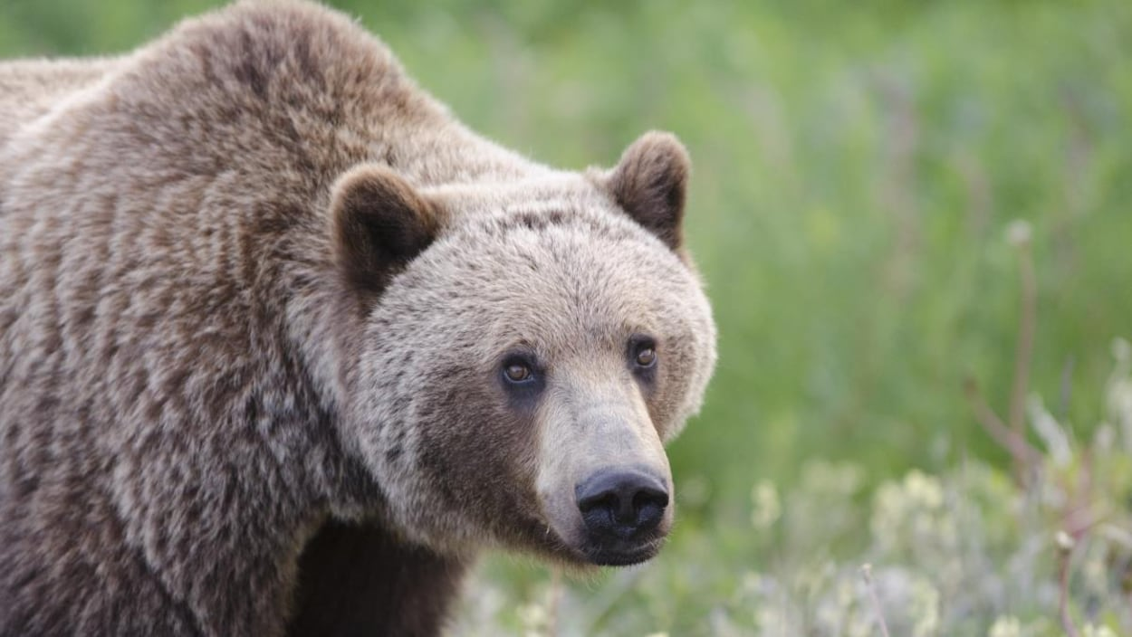 Un ours grizzly regarde la caméra.