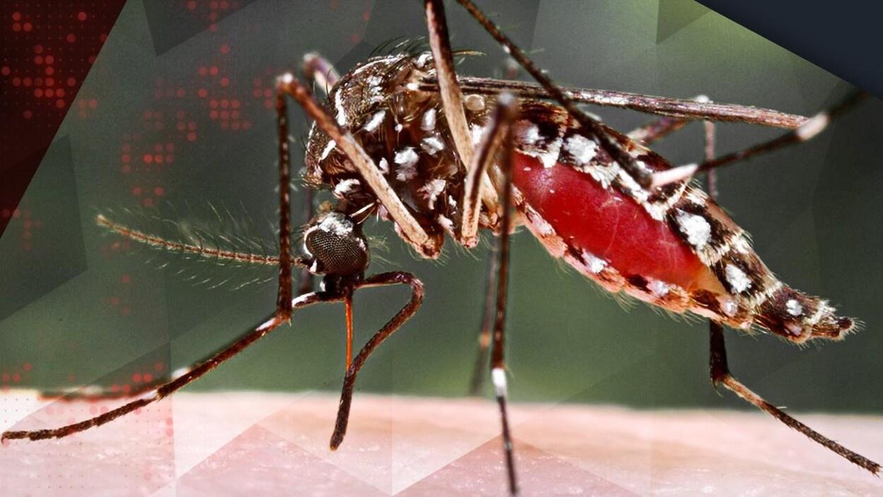 Un moustique portant le virus Zika