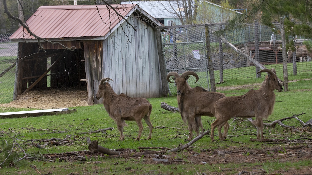 Trois des animaux que comptait le Zoo de Saint-Édouard quand les agents de la SPCA sont arrivés sur les lieux, mardi matin.
